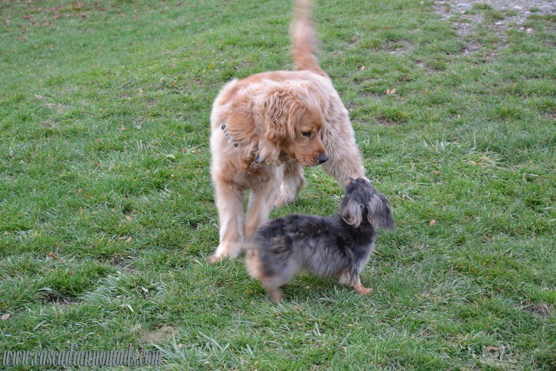 Black and tan dapple miniature long haired dachshund, Wilhelm, greets a golden retriever at the off-leash park (Grandview, Seatac, Washington)