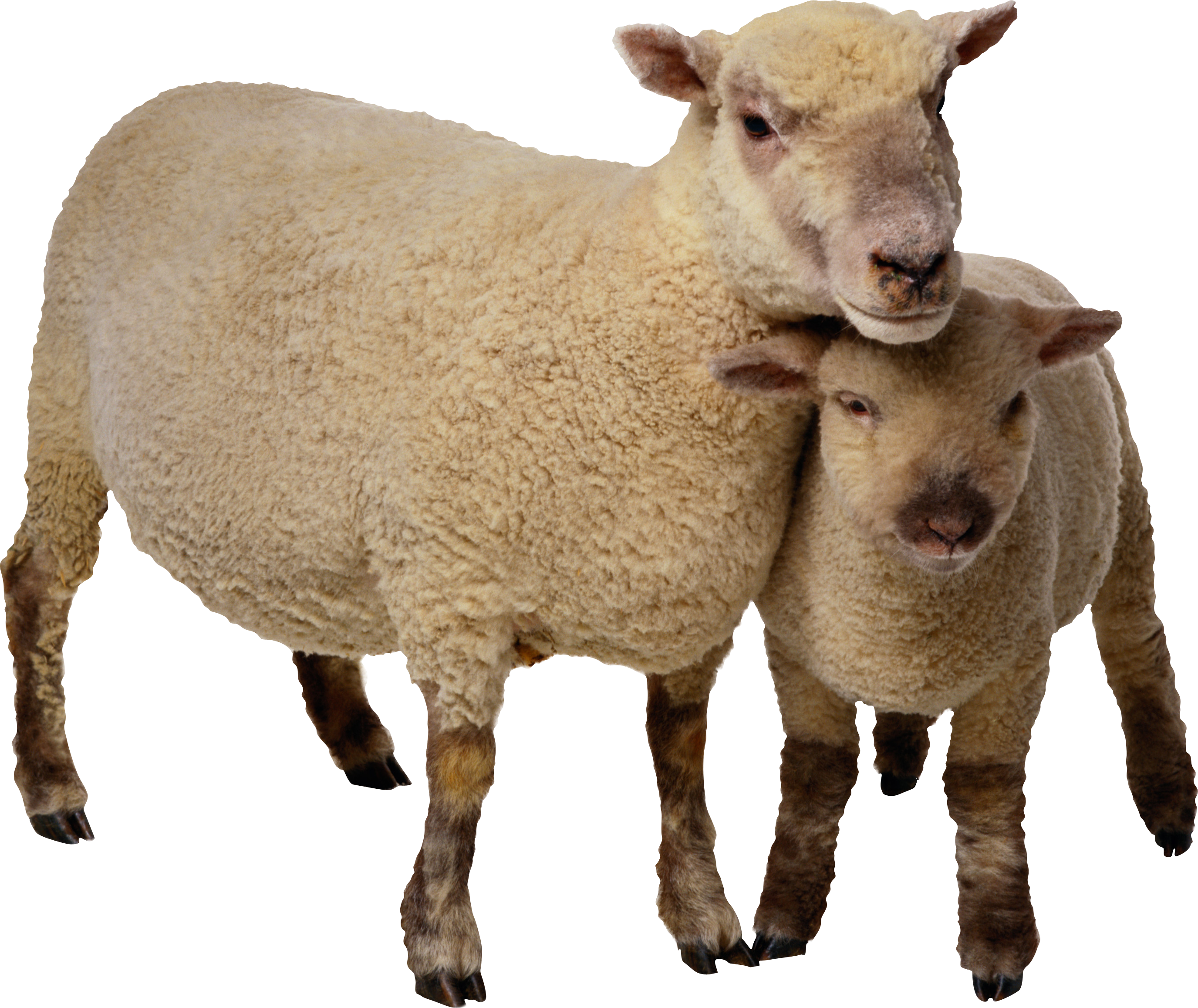 Sheep Png Image Free Download Animals Farm Animals Png