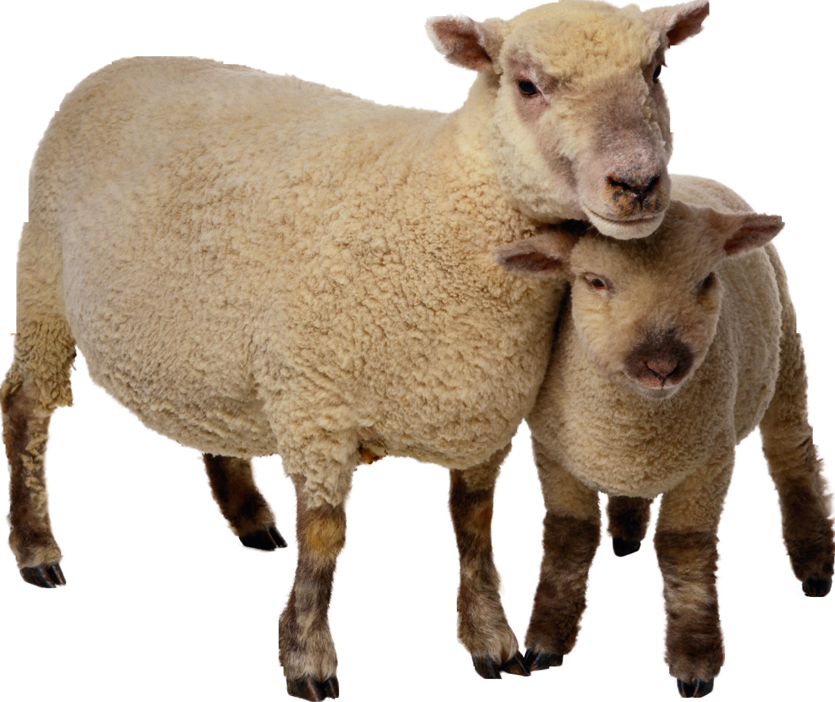 Sheep PNG image, free download Animals, Png, Sheep