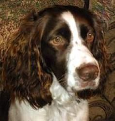 Adopt Blaser On English Springer Spaniel Springer Spaniel Spaniel Dog