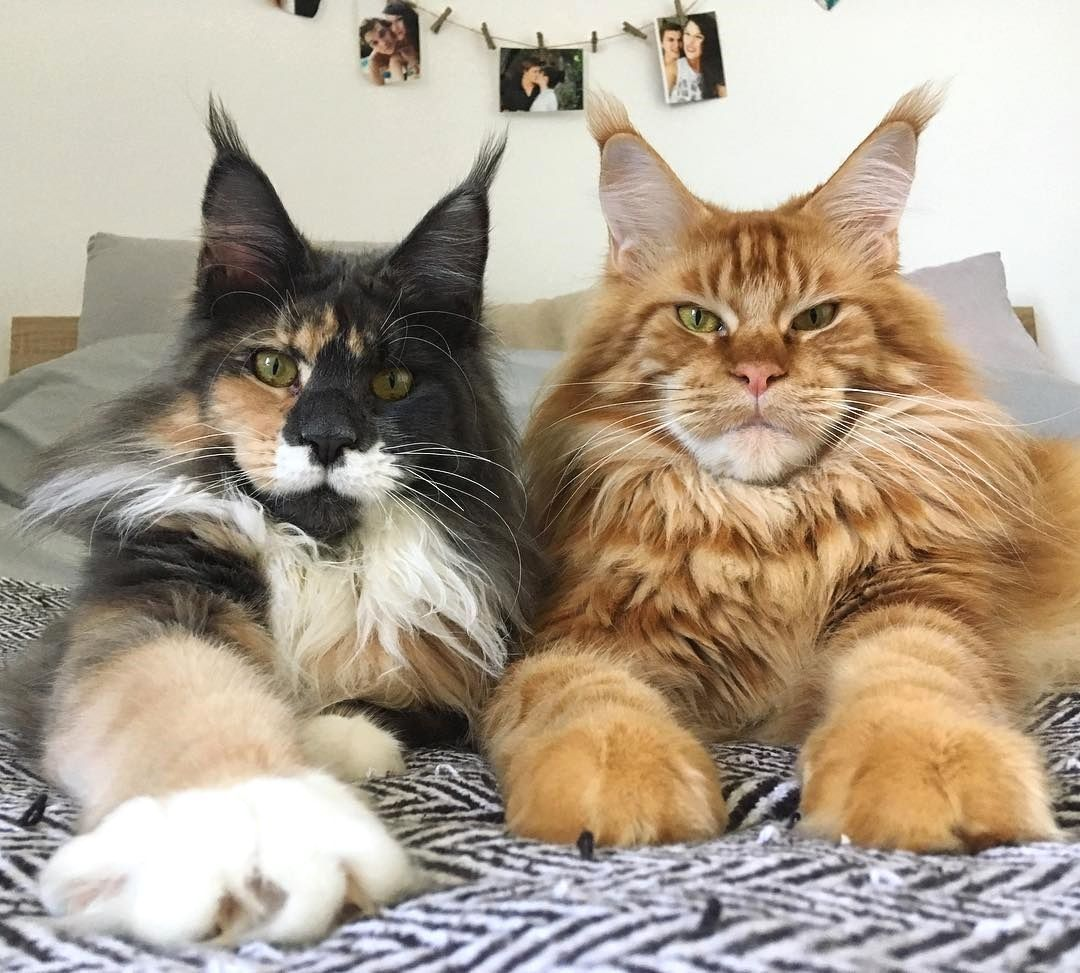 Pin On Mainecoon Kittens And Cats