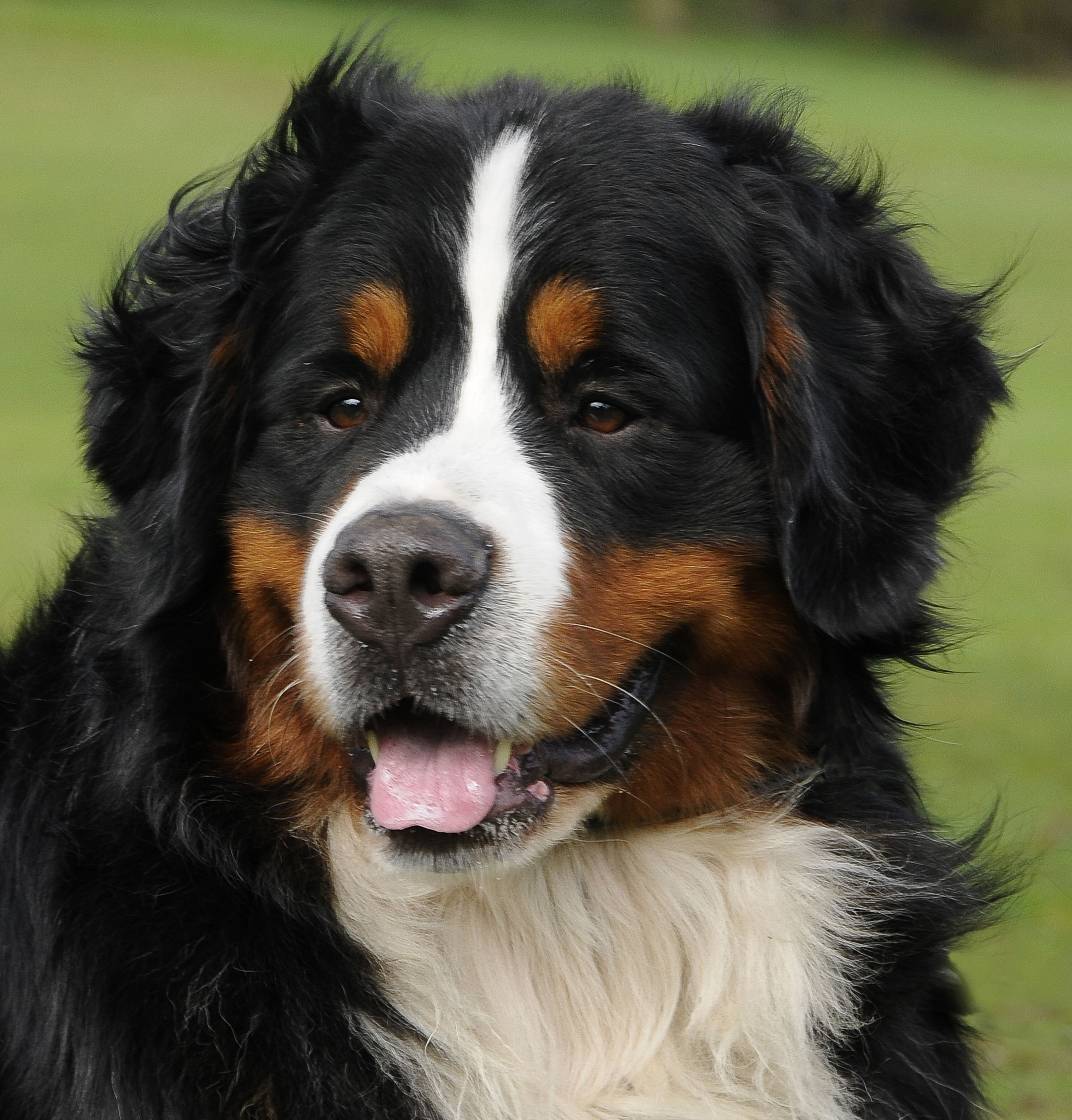 bernese mountain dog face just like it pinterest bernese mountain dogs. Black Bedroom Furniture Sets. Home Design Ideas