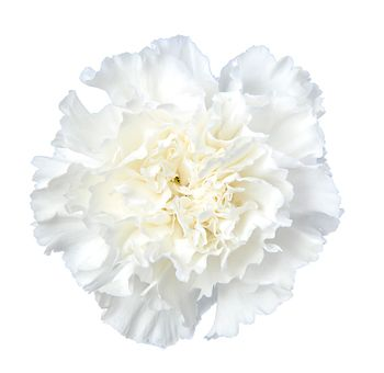 Wholesale White Carnation Flowers Online White Carnation Carnations Carnation Flower