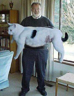 Cow Cats The New Feline Breed Cats Cute Animals Funny Cats