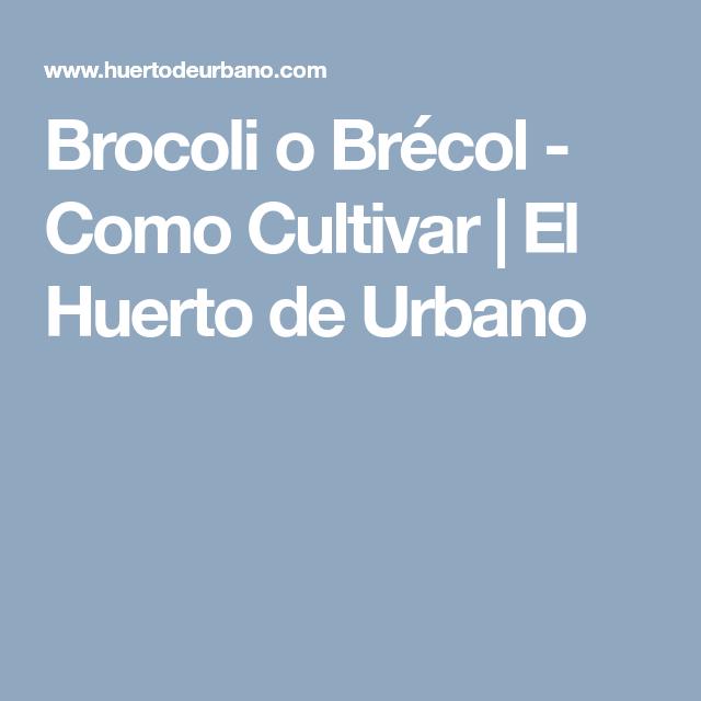 Brocoli o Brcol Como Cultivar El Huerto de Urbano Huerto