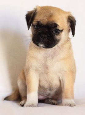 15 Unreal Pug Cross Breeds You Ve Got To See To Believe Chug Dog