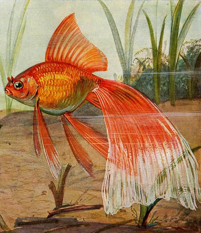 Veil Tail Goldfish Artwork Poisson Rouge Sous L Eau Et Aquarelle