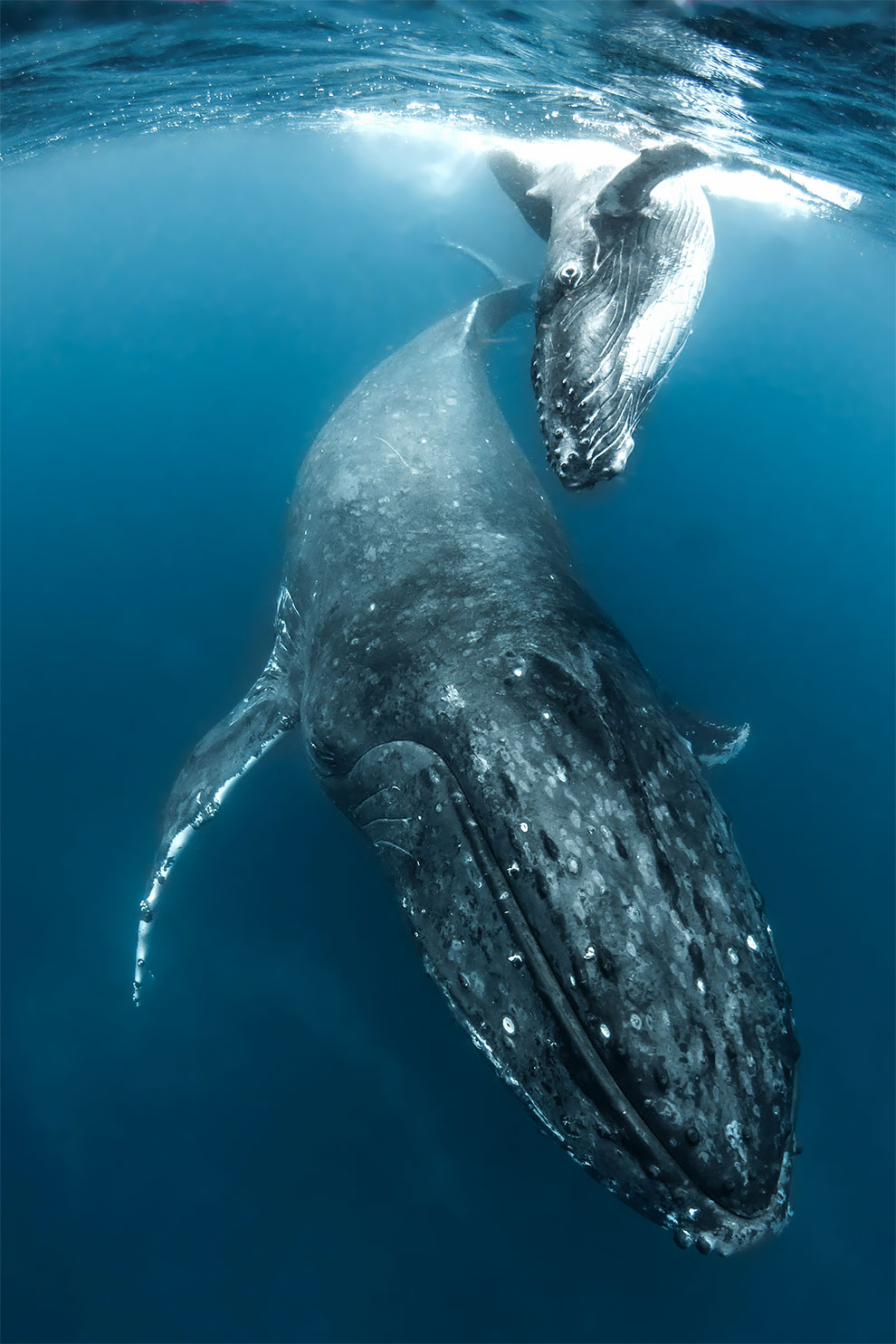 Daredevil Underwater Photographer Captures Stunning Images Of Humpback Whales In The South Pacific Underwater Photographer Whale Humpback Whale