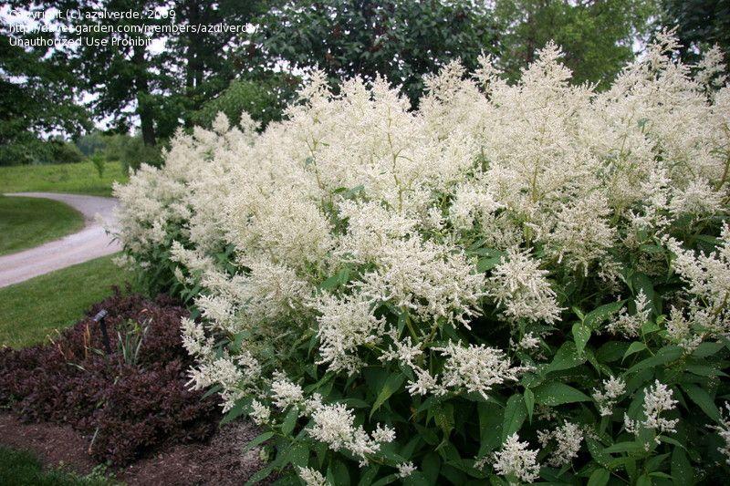Full Size Picture Of Giant Fleeceflower White Fleece Flower White