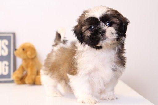 Shih Tzu Puppy For Sale In Naples Fl Adn 26401 On Puppyfinder Com Gender Male Age 15 Weeks Old Shih Tzu Puppy Puppies For Sale Shih Tzu