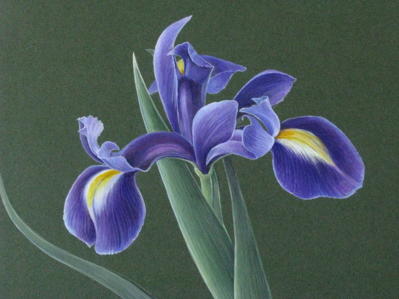 Botanical Sketches and Other Stories: Dutch Iris in Gouache