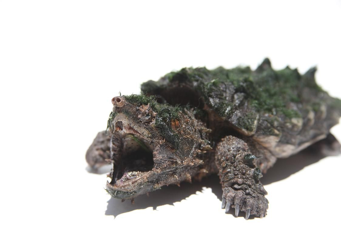 alligator snapping turtle anatomy - Google Search | Animal: Turtle ...
