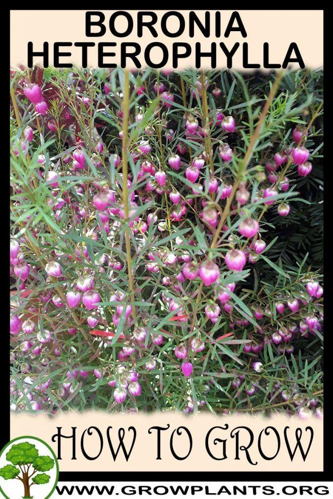 Photo of Boronia heterophylla – How to grow & care