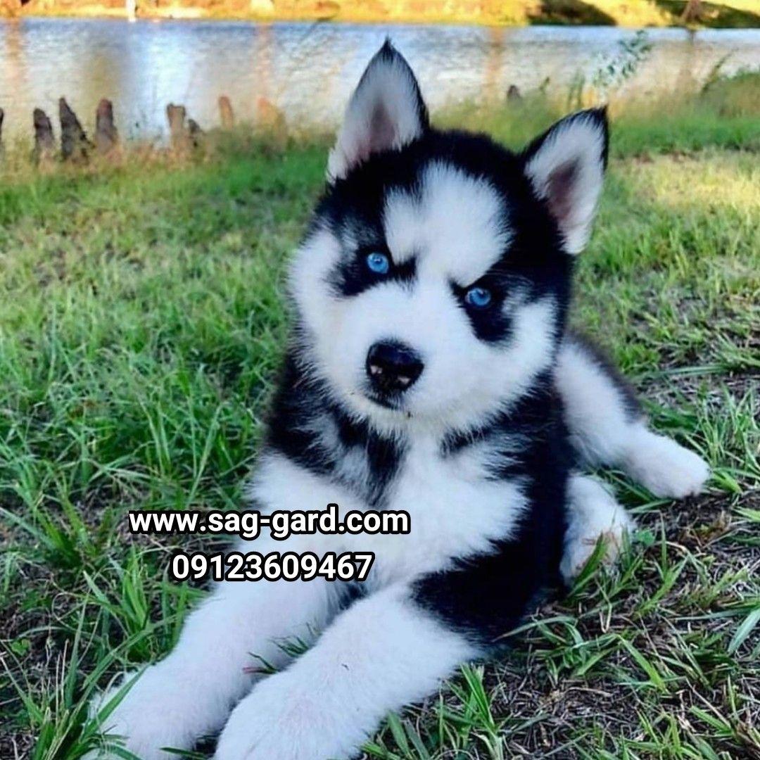 سگ بامزه هاسکی توله هاسکی نر و ماده موجود 09123609467 فروش سگ
