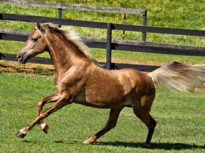 Rocky Mountain Horse mare, Southern Pride. Bay silver dapple. photo: Daniela Snyder.