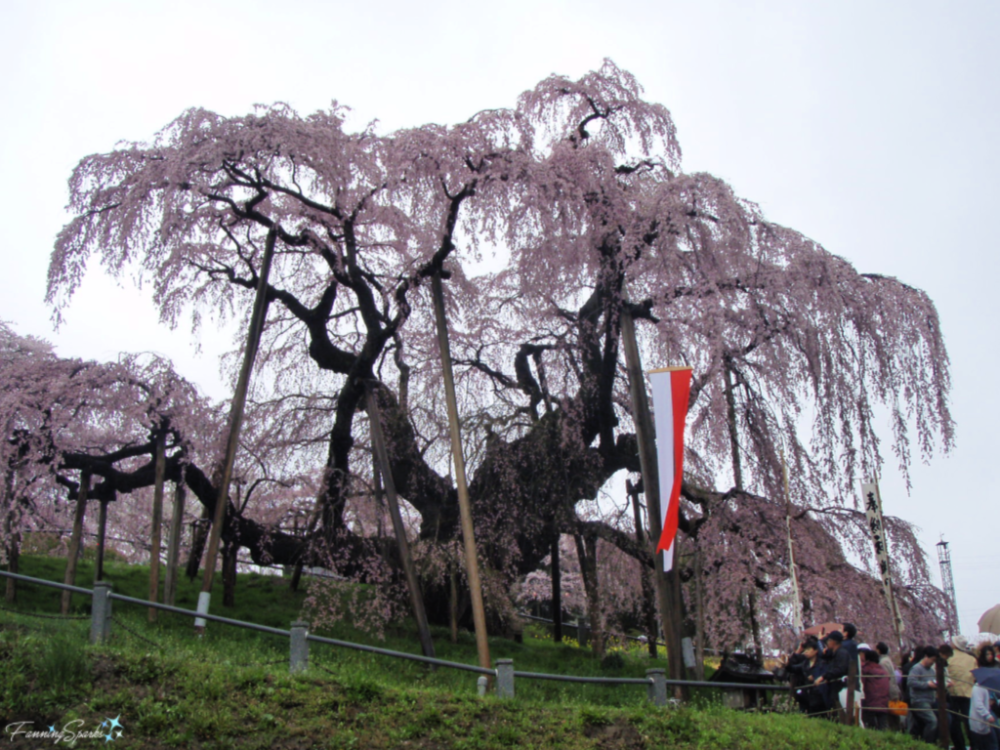 1000 Year Old Cherry Tree In Miharu Japan Fanningsparks Hanami Garden Tours Local Tour