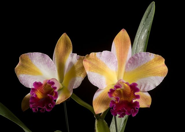 Pinterest & Pot. Coral Gold \u0027Pacific Rainbow\u0027 CR HOS | Orchids of ...