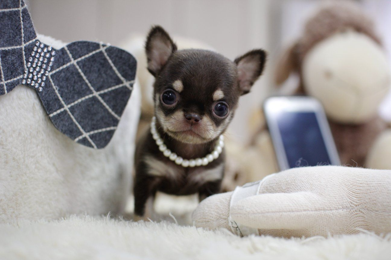 Puppies For Sale Under $500 In Las Vegas References