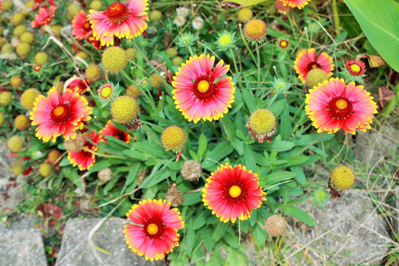 Blanket Flowergaillardia Seedsgaillardiagaillardia Etsy Flower Seeds Packets Flower Seeds Drought Tolerant Perennials