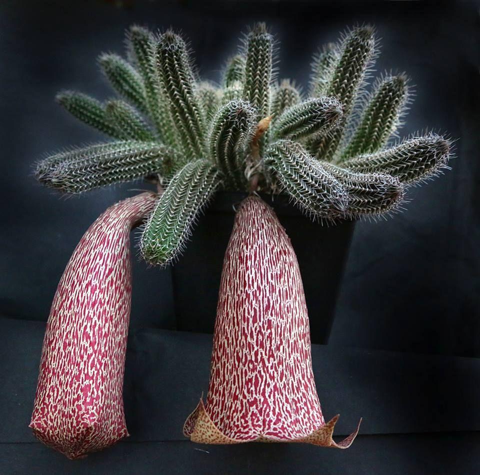 Tavaresia grandiflora
