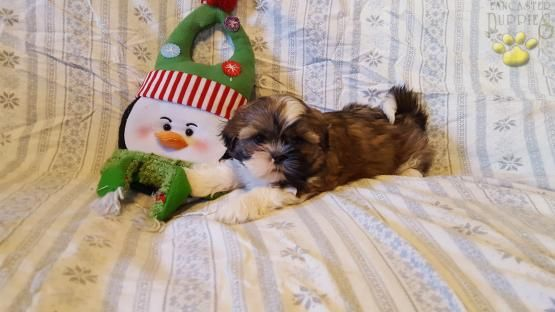 Star Shih Tzu Puppy For Sale In Pine Grove Pa Lancaster