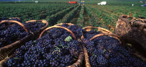 Who much wine do you get out of a ton of grapes? | Italian wine, Wine  vineyards, Italy wine