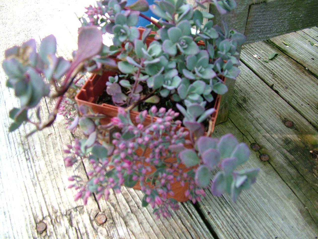 Blueberry Pie Stonecrop Sedum Cauticola Great As A Ground Cover