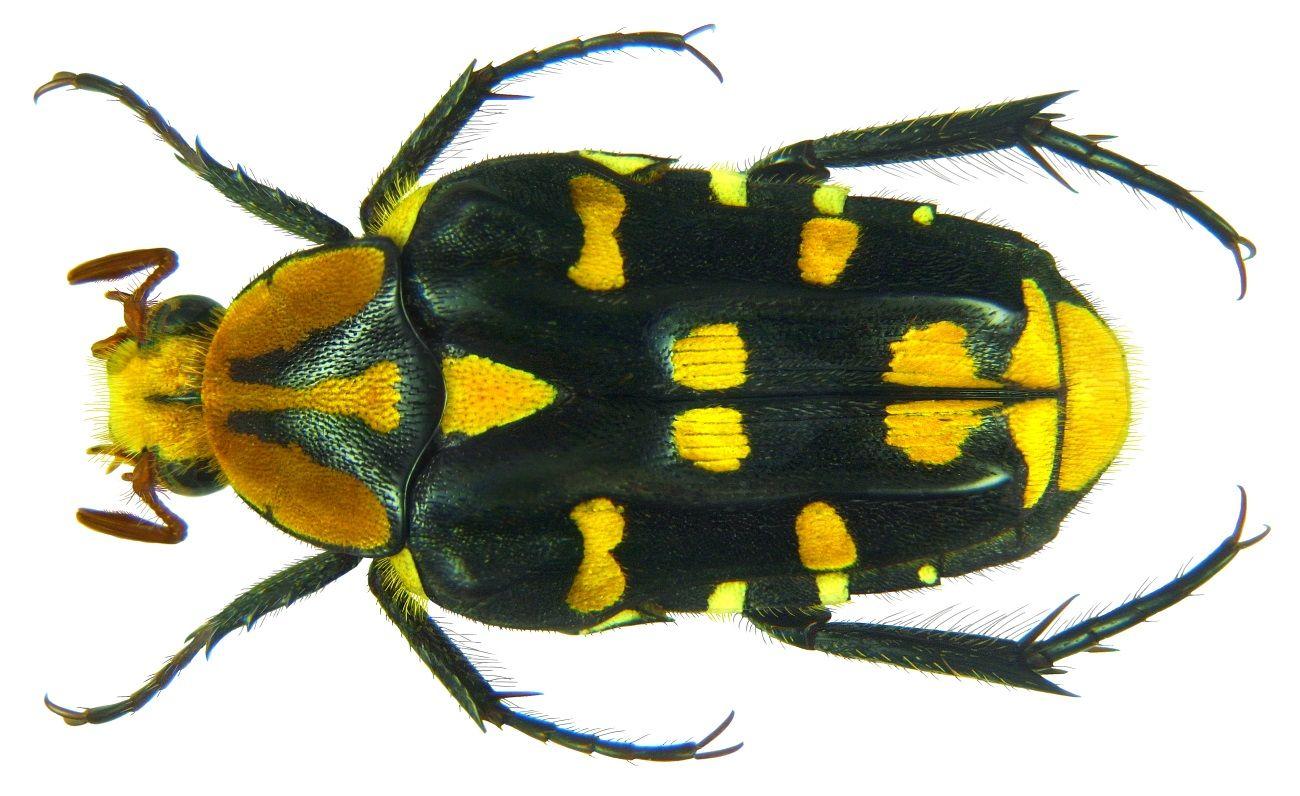 Ixorida Gueyraudi Insekten Tiere Und Spinne