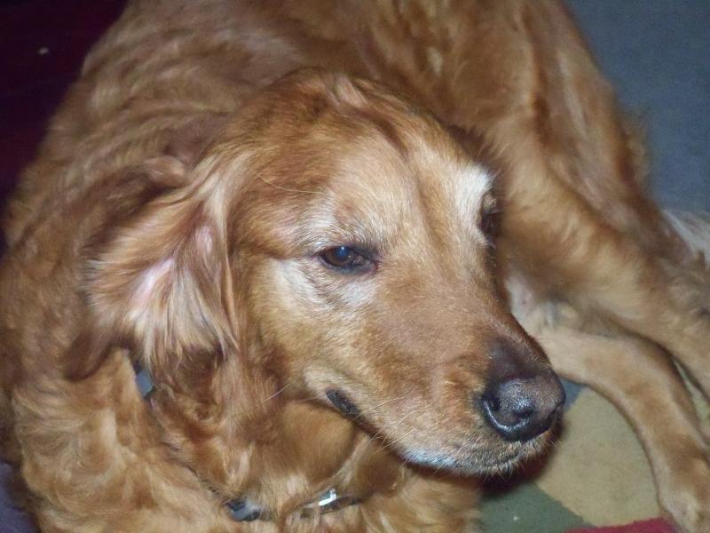 Adopt Rosie on Golden retriever, Golden retriever
