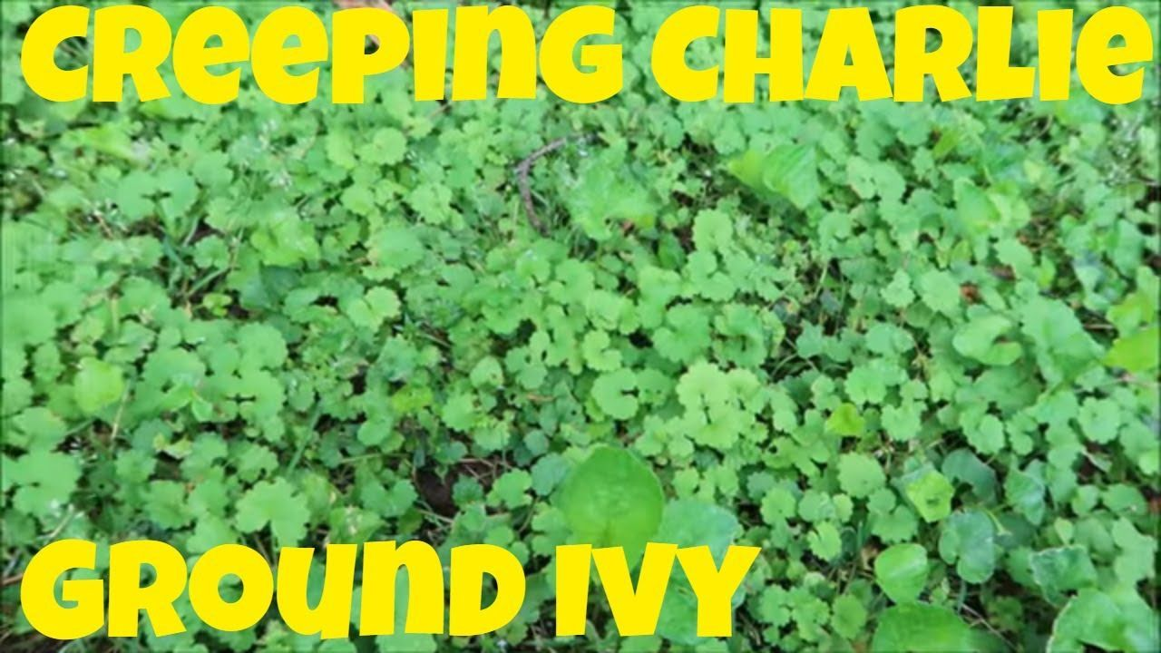 Creeping charlie aka ground ivy control in the lawn