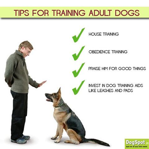 Have An Adult Dog Here Are The Tips To Train Him House