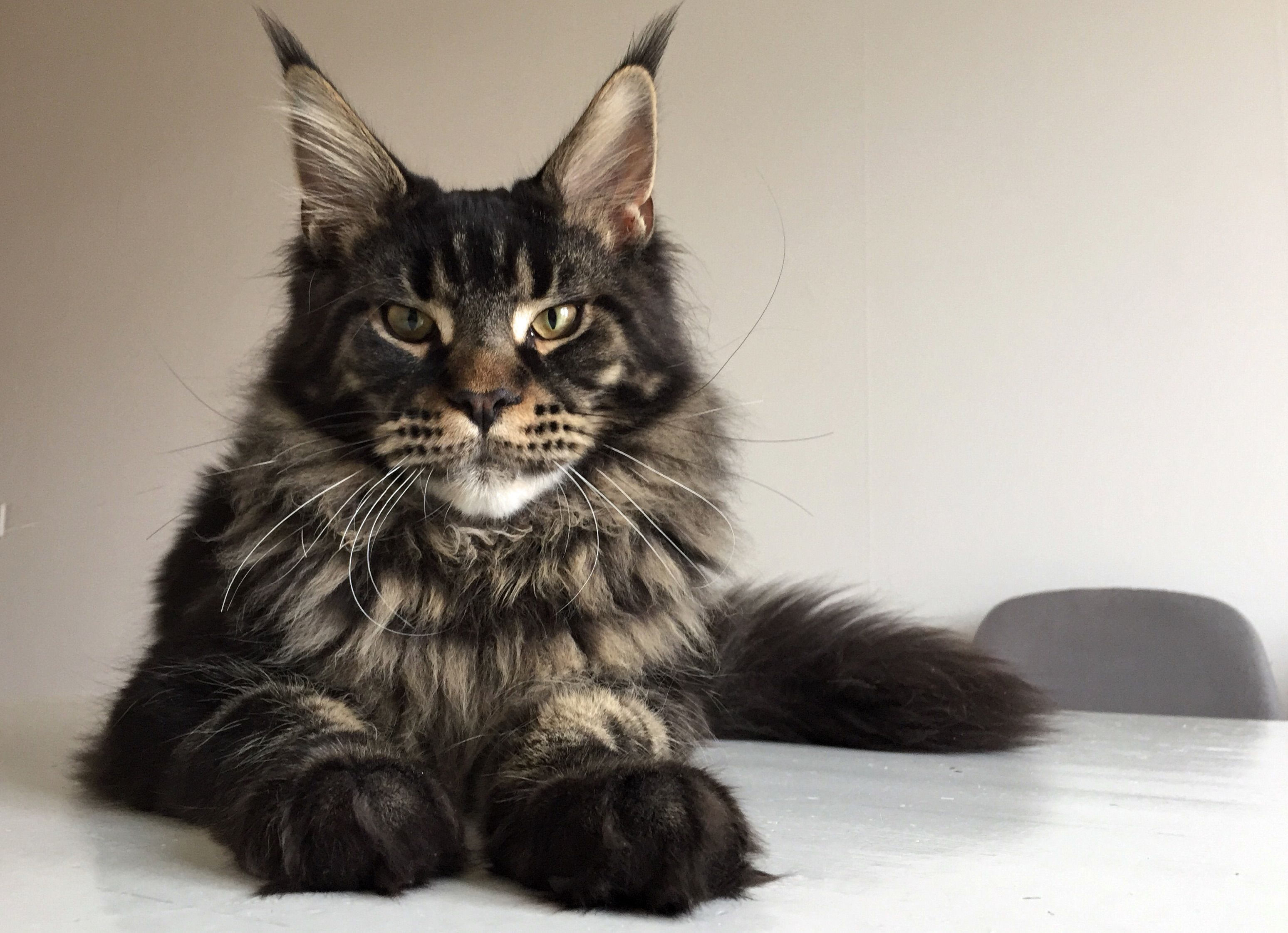 Pin Na Doske Maine Coon Cats