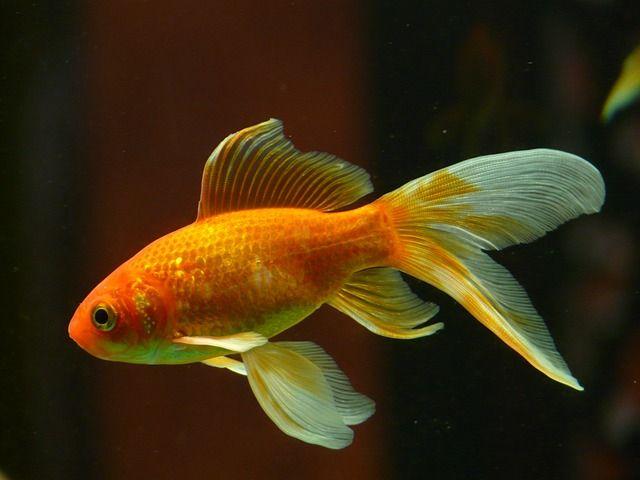 Kostenloses bild auf pixabay schleierschwanz fisch for Zierfische im teich