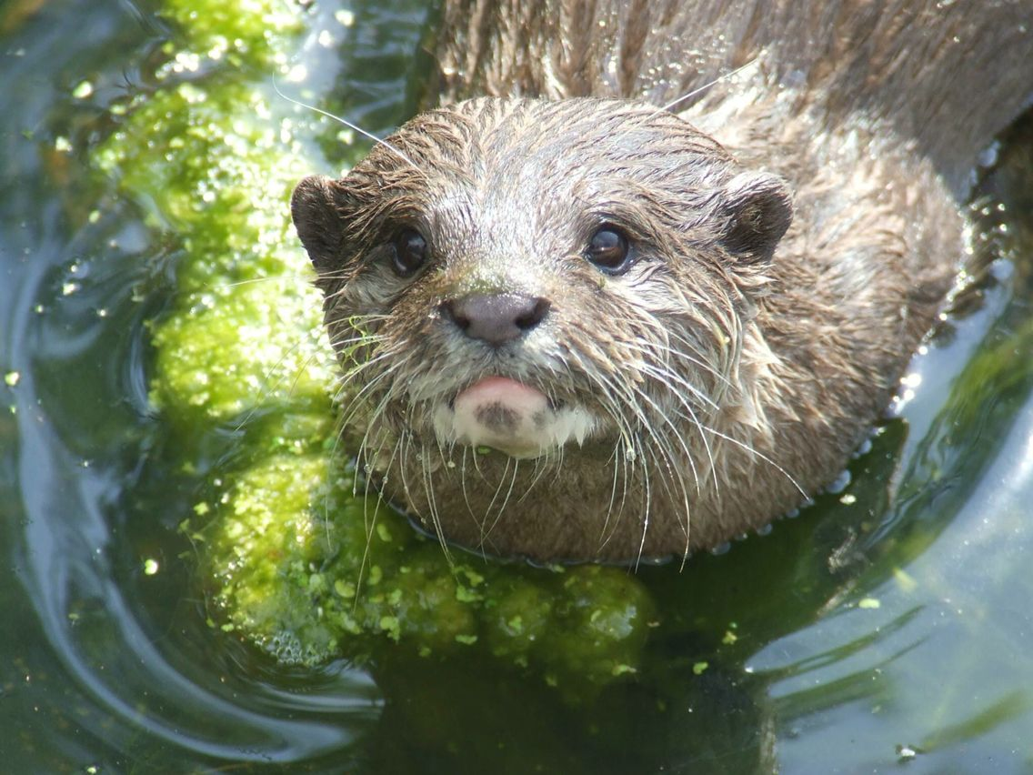Asian short-claw otter from Blackpool Zoo!