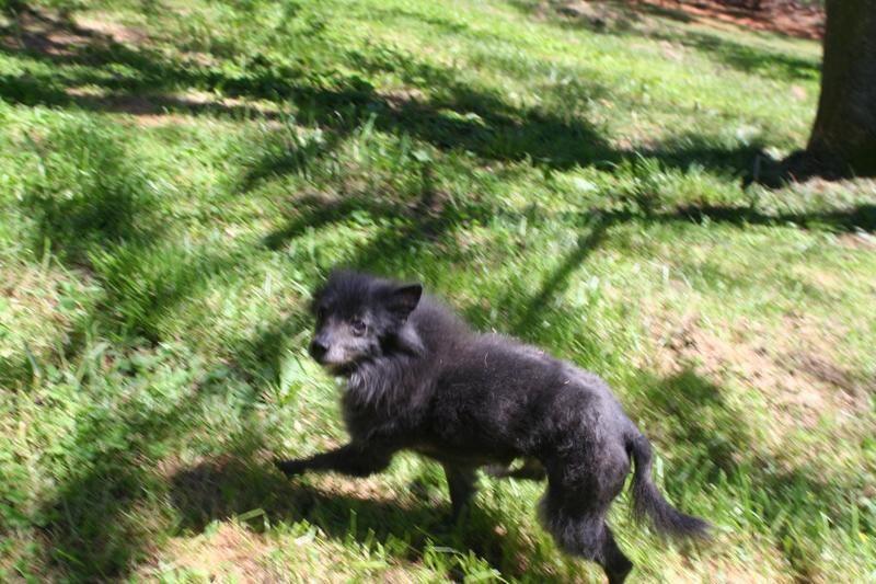 Adopt Dobby On Schipperke Shelter Dogs Beautiful Dogs