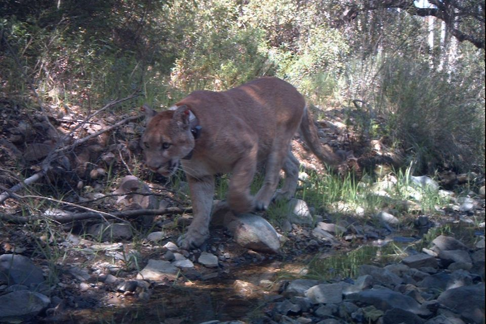 Pin by Marybeth Fama on Santa Monica Mountain Lions