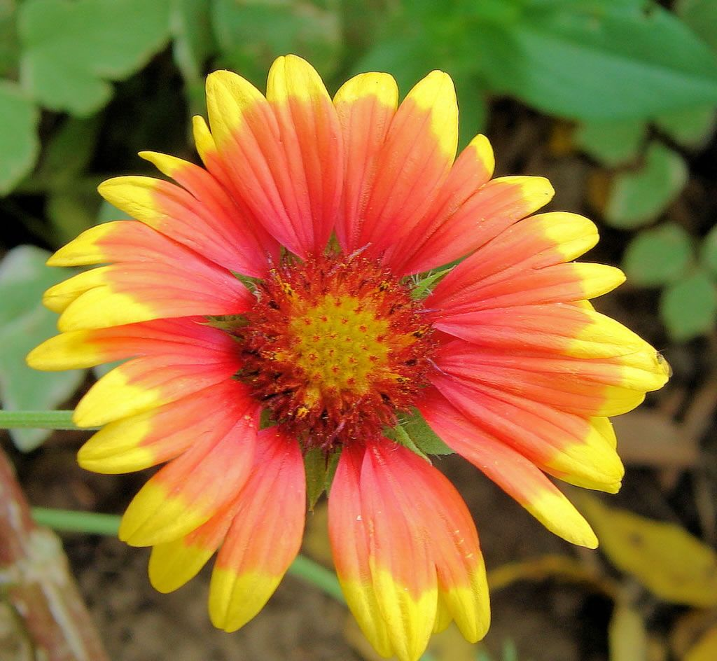 Red Orange And Yellow Aster My Favorite Flower In The World