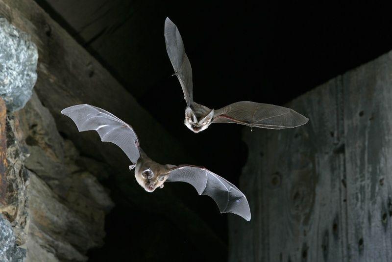 Grand rhinolophe et oreillard gris chauves souris de sologne d couverte des chiropt res for Monforti watches