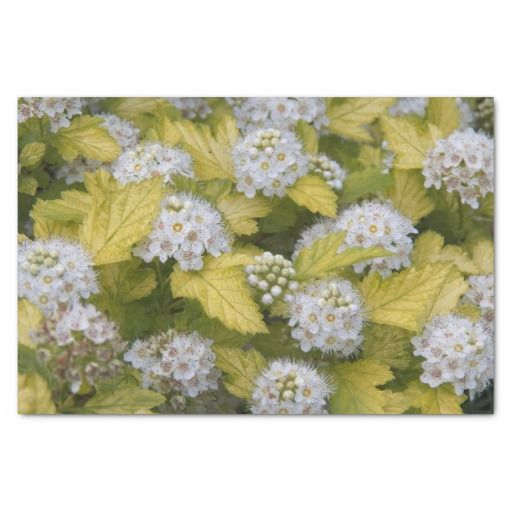 """Pacific Ninebark Floral 10"""" X 15"""" Tissue Paper #giftwrapsupplies #whiteflowers"""