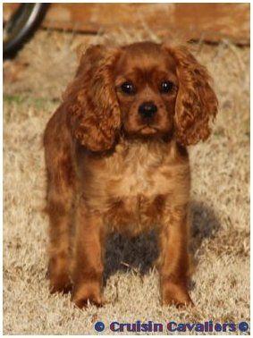 Rubicube At 16 Weeks Of Age King Charles Cavalier Spaniel Puppy King Charles Dog Cavalier King Charles