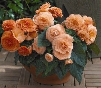 Begonia Seeds For Sale Begonia Tuberhybrida Begonia Semperflorens Begonia Flower Seeds Annual Flowers Begonia