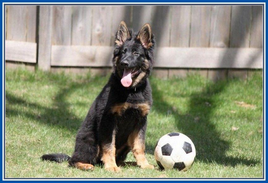 Pin By Personal On German Shepherd Puppies For Sale German