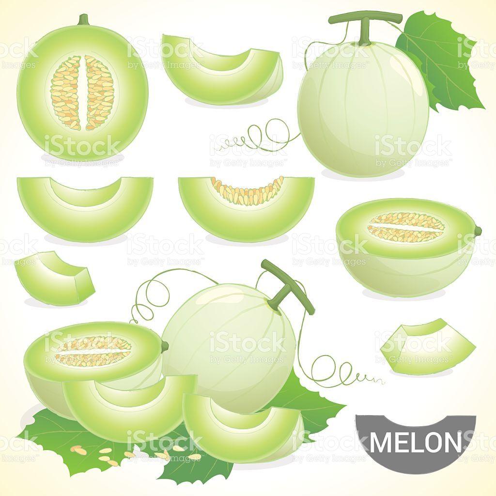 Set Of Cantaloupe Honeydew Honeymelon Fruit In Various Styles Vector Fruit Vector Honeydew Fruit