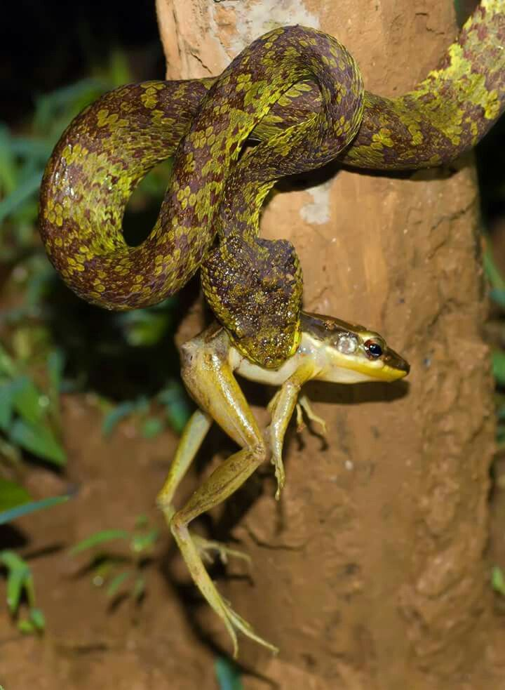 Malabar Pit viper with kill of Golden back frog Agumbe July