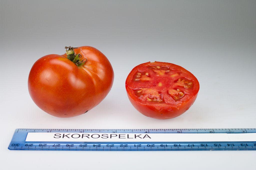 Skorospelka heirloom tomato, grown at Rutgers NJAES research farms.