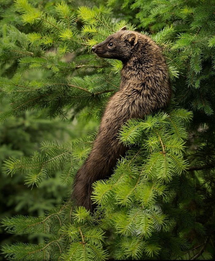 Pin by Martes Pennanti on The Fisher Fisher cat, Rare