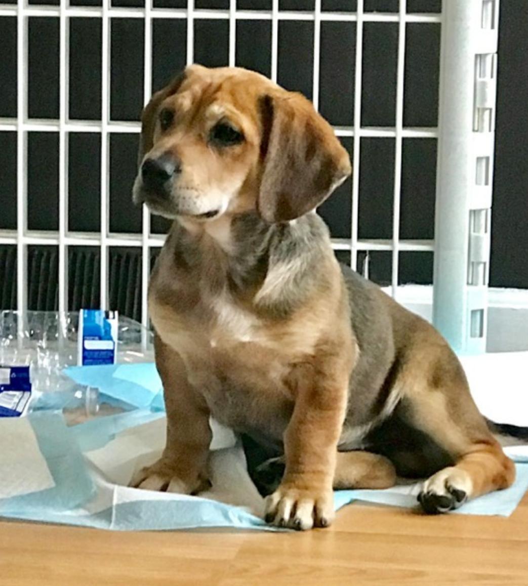 Basset Hound dog for Adoption in Livonia, MI. ADN750588