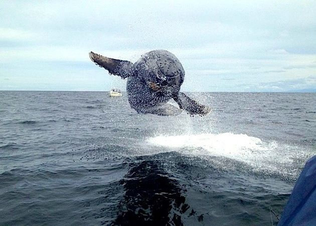 Angler Photographs Humpback Whale That Almost Jumps Into Boat - Rare moment 40 ton whale jumps completely out of the water