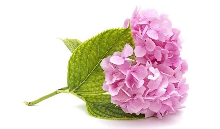 【ᐅ】Hortensien Pflege 2019 - Schneiden, vermehren, überwintern #hortensienvermehren Pinke Hortensie auf weißem Hintergrund #hortensienvermehren