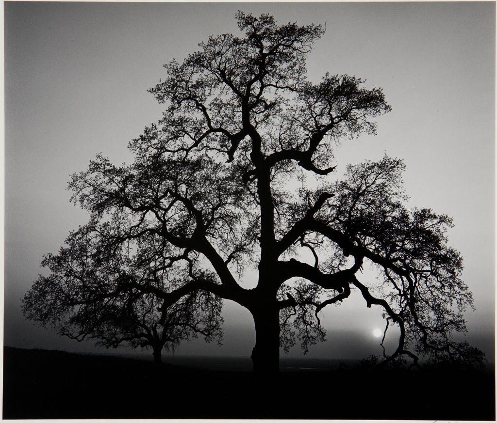 Oak Tree, Sunset City, Sierra Foothills, California, 1962 | Ansel ...